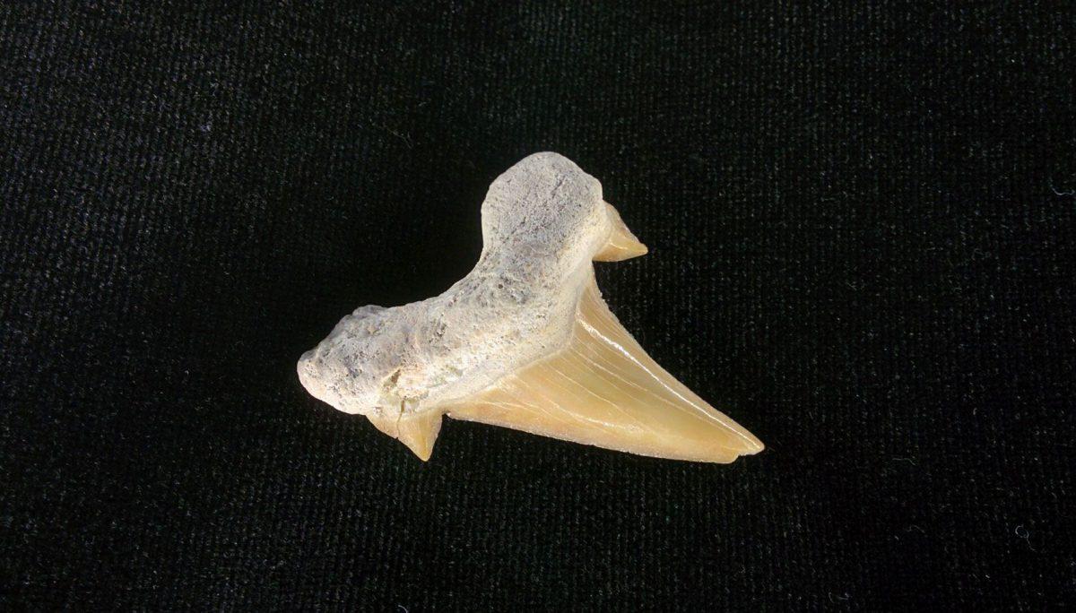 Diente fósil de tiburón (Otodus Obliquus). Marruecos.