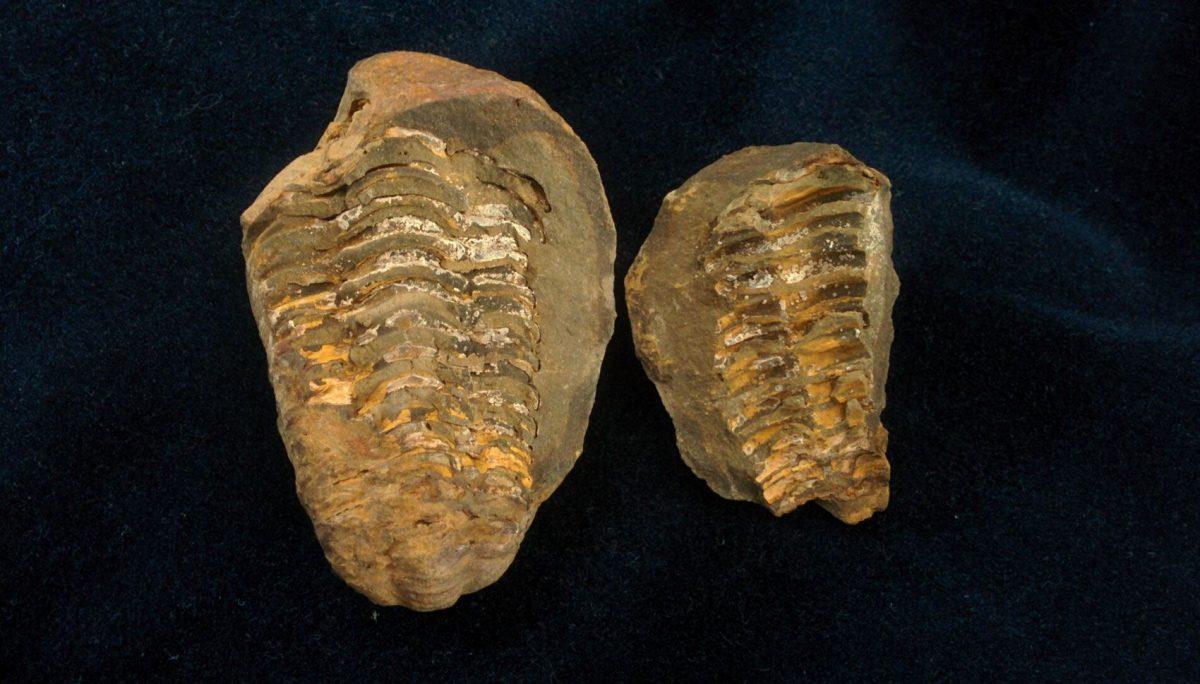Trilobite Dyacalymene Ouzrregui de Marruecos